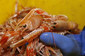 The prawn quota could be cut by 24% next week if the Brussels fisheries' summit gets its way.