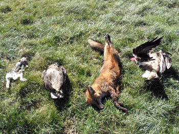 Poison is causing the deaths of red kites across Northern Ireland.