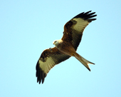 There will be a talk on Red Kites by the RSPB in Leitrim.