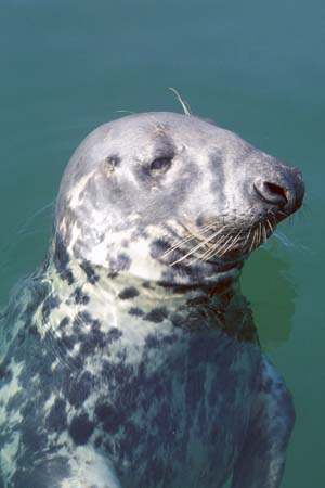 Seal of approval. The Portaferry Exploris closure would also have a significant impact on the welfare of local wildlife. (Photo by Jim Masson).