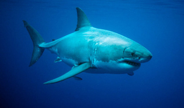 You will not find Jaws at the Exploris in Portaferry but there is a range of his other fellow members of the shark family all waiting for you to enjoy during Shark Week.