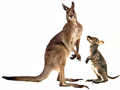 An adult and young wallaby are on the loose in the wider Downpatrick area.