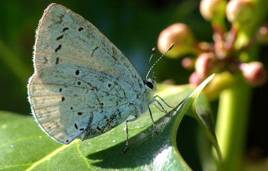 A Holly Blue butterfly at Glaswater wood. (photo by Bob Carter).