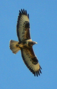 A buzzard has ben shot near Newcastle on 7th July. Police are following up inquiries.