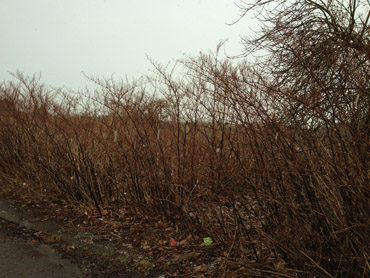 Invasive species in County Down - Japanese Knotweed pictured in winter.