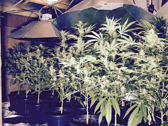 Cannabis worth £225,000 on the street was seized in Annalong and a man has been arrested.