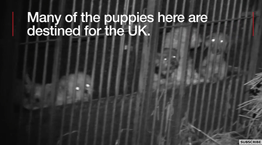 Puppy farming is big business where one female dog can earn up to over £20,000 in its lifetime.