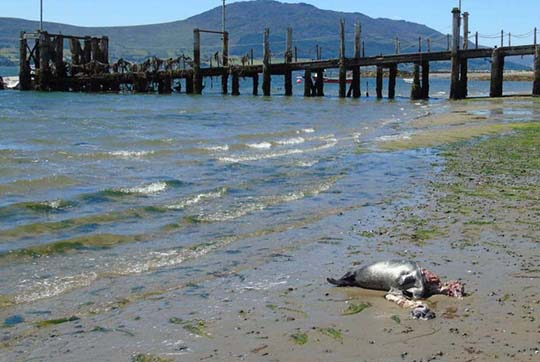 A dead seal pup on the beach in Greencastle, County Down.