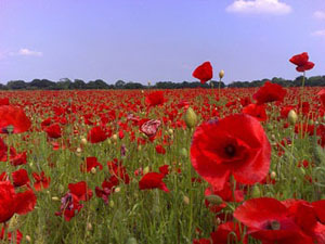 In Flanders Fields poppies grew where nothing else could flourish after the ravages of the First World War.