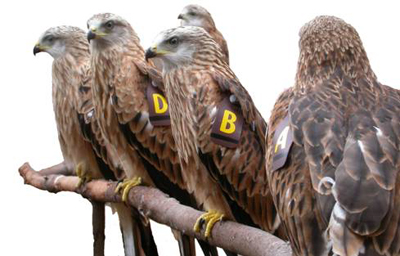Young red kites pictured in  England prior to being taken  over to County Down.