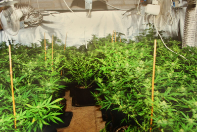 A large quantity of cannabis was seized near Castlewellan.