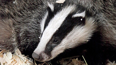 Badgers are to be surveyed.