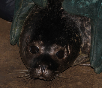 A big day for Puck the common seal.