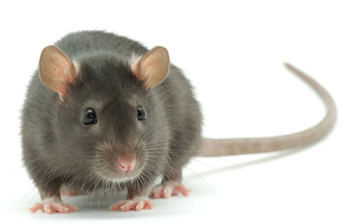 Councillor Willie Clarke is concerned at a possible rat problem in Newcatle's