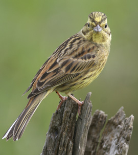 Yellowhammers are under pressure in County Down (photo by Tom Marshall).