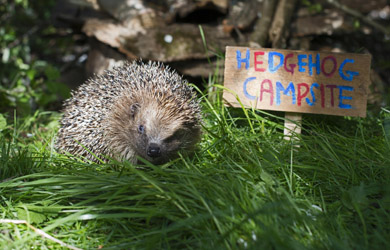 Hedgehogs love to eat slugs and snails in your garden.
