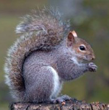 The grey squirrel invasive species in having a major impact on the native red squirrel.